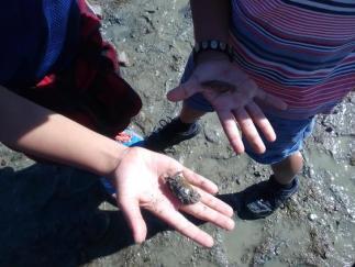 Motukaraka crab